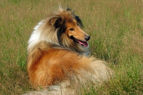 Top 10 Dog Breeds Collie