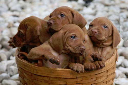 Vizsla Top 10 Dog Breeds