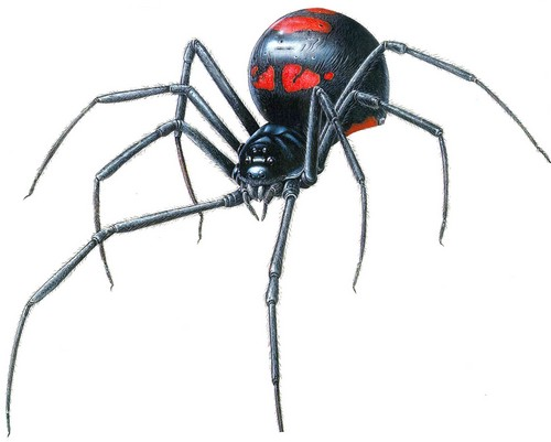 Black widow Dangerous Spiders