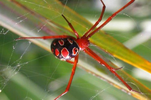 Red-Legged Widow Spider
