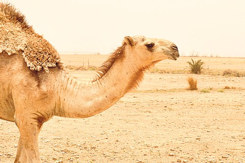 The hungry thugs and the Camels' left leg
