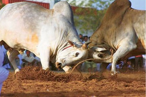 African Bull Fighting
