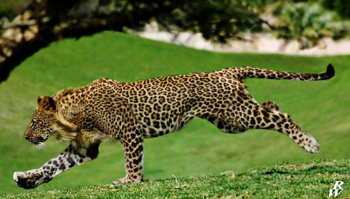 Amazing Animals Cross-Breed Leopon
