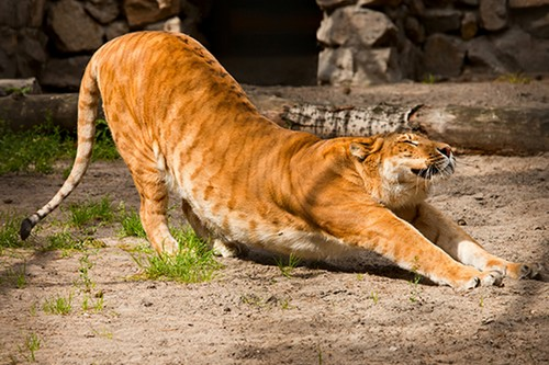 Amazing Animals Cross-Breed Liger