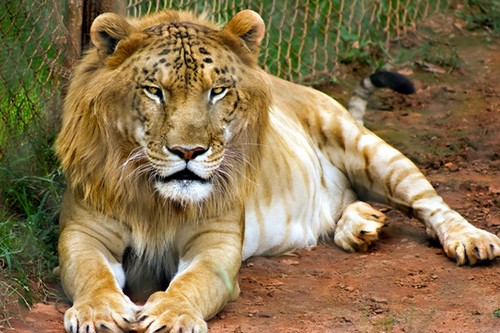 Tigon Amazing Animals Cross-Breed