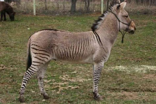 Amazing Animals Cross-Breed Zonkey