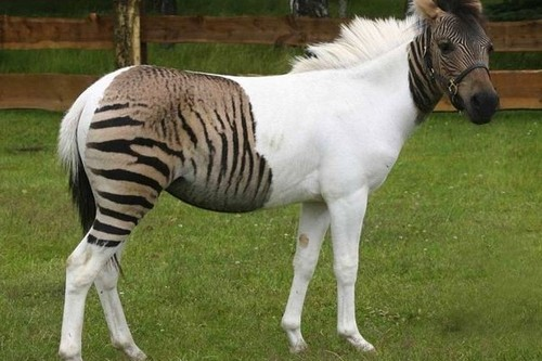 Zorse Amazing Animals Cross-Breed