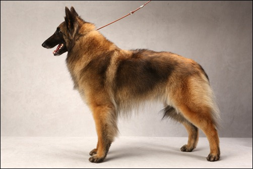 Best Police Dog Breeds