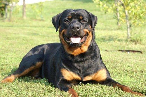 Best Police Dog Breeds Rottweiler
