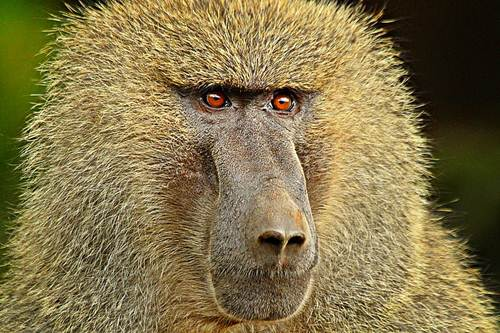 Baboons Smartest Animals
