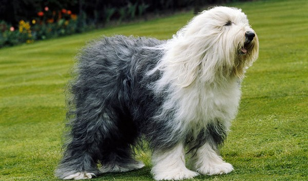 Adorable English Dogs Sheepdog