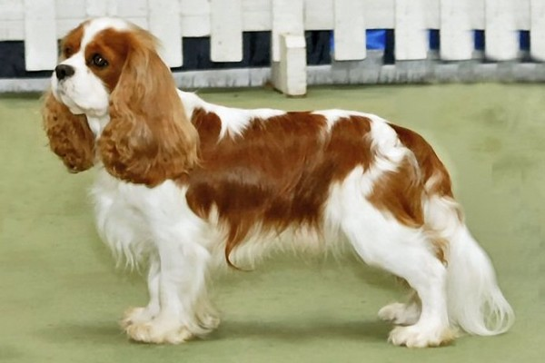 Cavalier King Charles Spaniel Adorable English Dogs