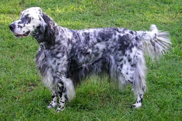 English Setter Adorable English Dogs
