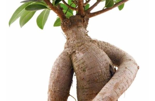 Польза для здоровья Ашваганда