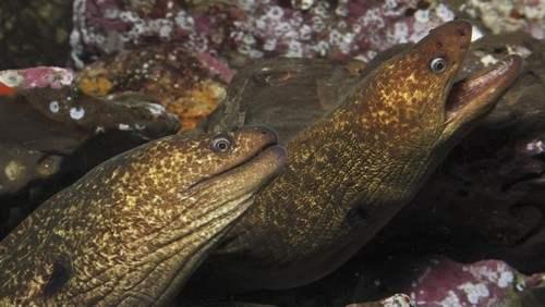 California moray eel