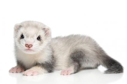 Caring for Pet Ferrets