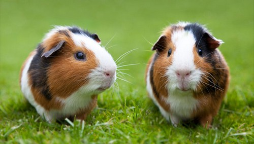 Guinea pigs Great Pets