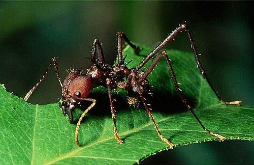 The Leaf-cutter Ant