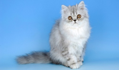 Cute Persian Cats
