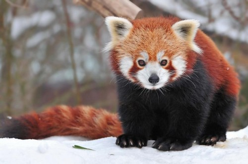Cute Red Pandas