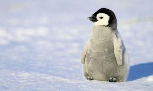 Little Baby Penguin