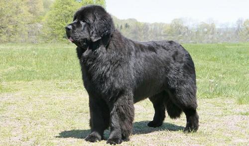 Laziest Big Dog Breeds
