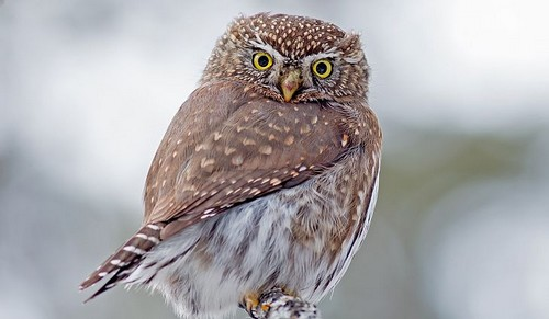 Northern Pygmy Owls
