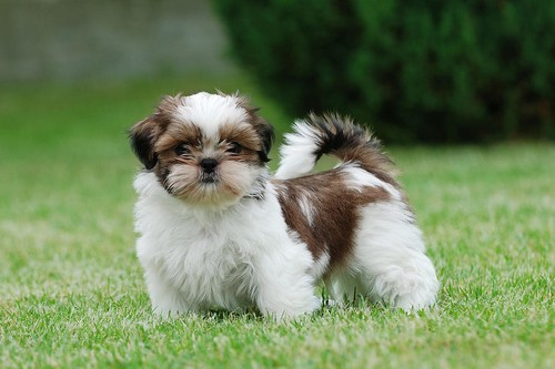 The Shih Tzu,The Little Lion Dog