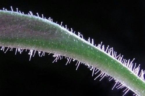 Trichomes on plants