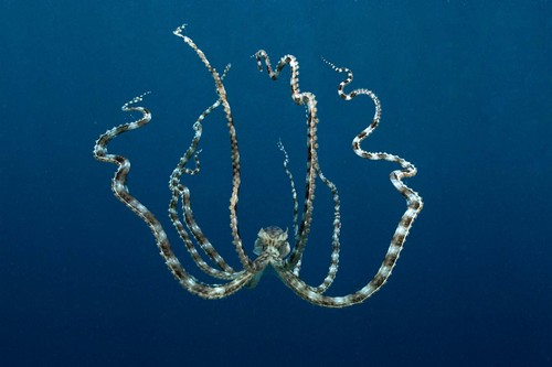 The Shape-Shifting Mimic Octopus