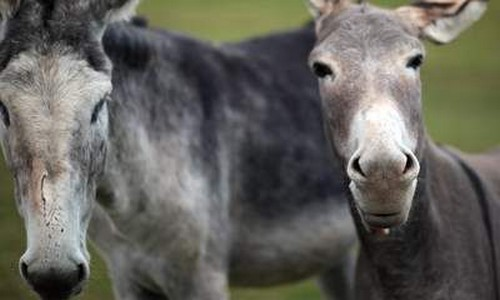 Killer Donkeys Maul Pensioner To Death