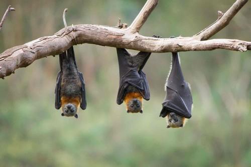 Most Deadliest Organisms Bats
