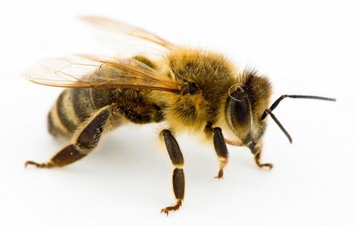 Most Deadliest Organisms Bees
