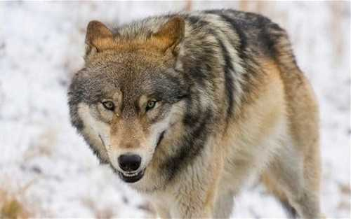 Wolf attacks lead to state of emergency in Russia's Siberia region