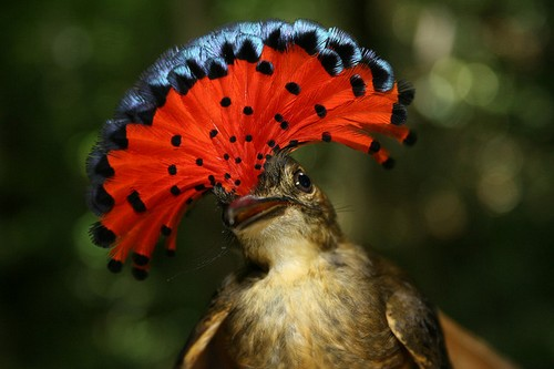 Royal Flycatcher Beautifully Crowned Birds