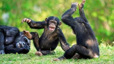 Chimpanzees Dangerous yet Legal Pets