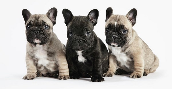 French Bulldog Cutest Puppies