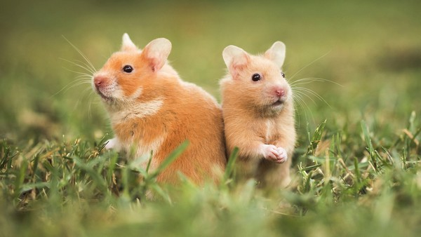 Hamsters two popular pets in America