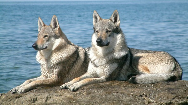 Pure Czech wolfdogs