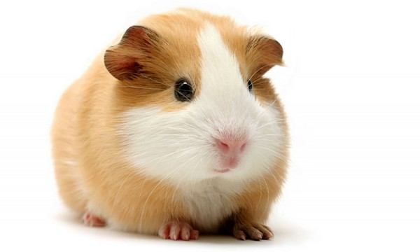 The Guinea Pig Pet