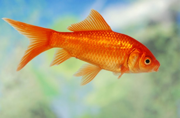 popular pets in America Fishes
