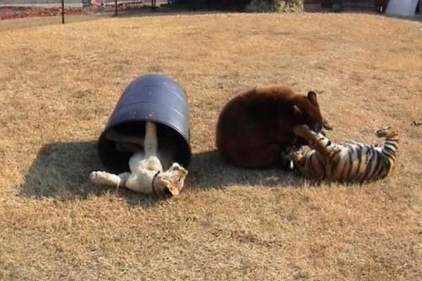 Baloo, Leo and Shere
