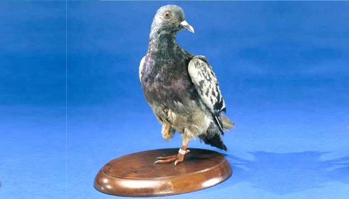 Cher Ami messenger pigeon