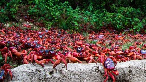Christmas Island Crab migration