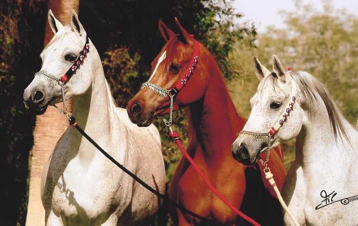 King Abdullah Saudi Horse