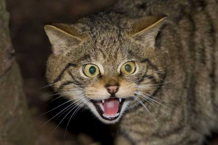 Most Dangerous Cat Breeds