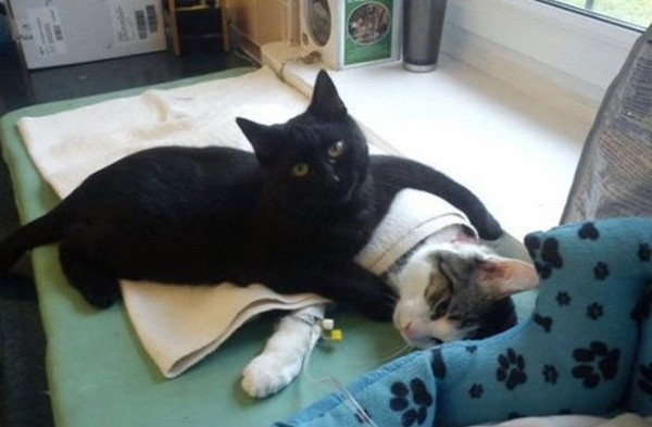 Rademenesa the nurse cat