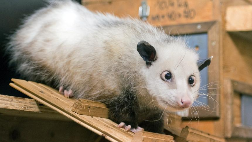 The cross eyed opossum Heidi