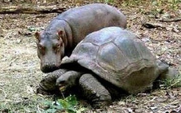 The hippo and tortoise bond