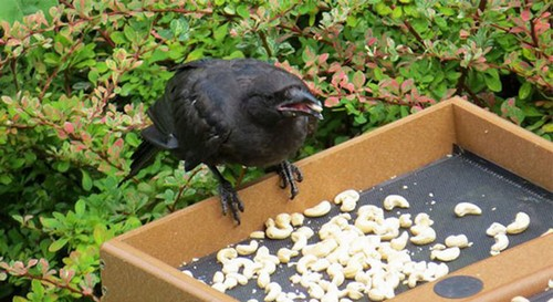 Story Of Feeding Crows